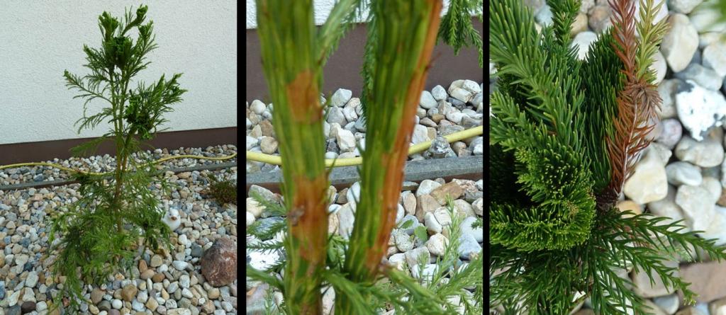 hahnenkamm sicheltanne elegans viridis cryptomeria japonica elegans viridis g nstig aus der. Black Bedroom Furniture Sets. Home Design Ideas