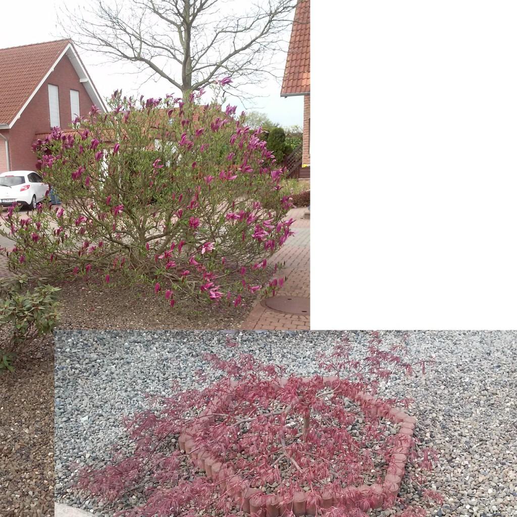 fragen an den meister magnolie und ahorn schneiden. Black Bedroom Furniture Sets. Home Design Ideas