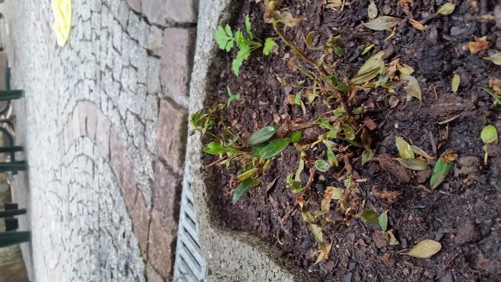sommergr ne azalee feuerwerk rhododendron luteum feuerwerk g nstig aus der baumschule online. Black Bedroom Furniture Sets. Home Design Ideas