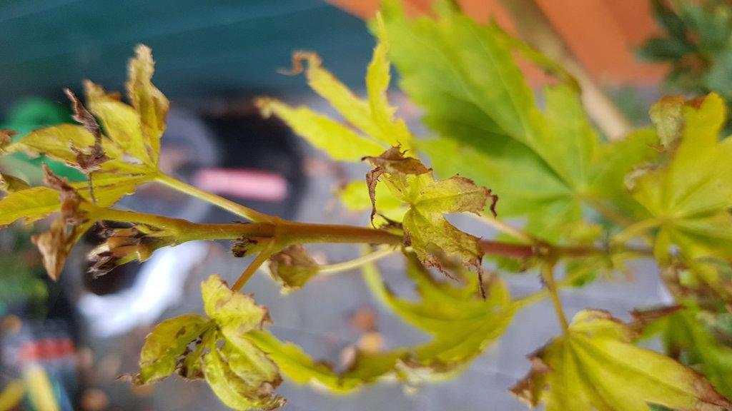 reitgras karl f rster calamagrostis acutiflora karl f rster g nstig online kaufen. Black Bedroom Furniture Sets. Home Design Ideas