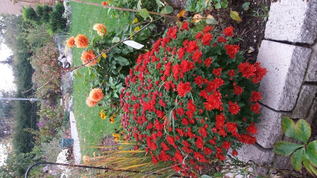 winteraster romantica chrysanthemum hortorum romantica g nstig online kaufen. Black Bedroom Furniture Sets. Home Design Ideas