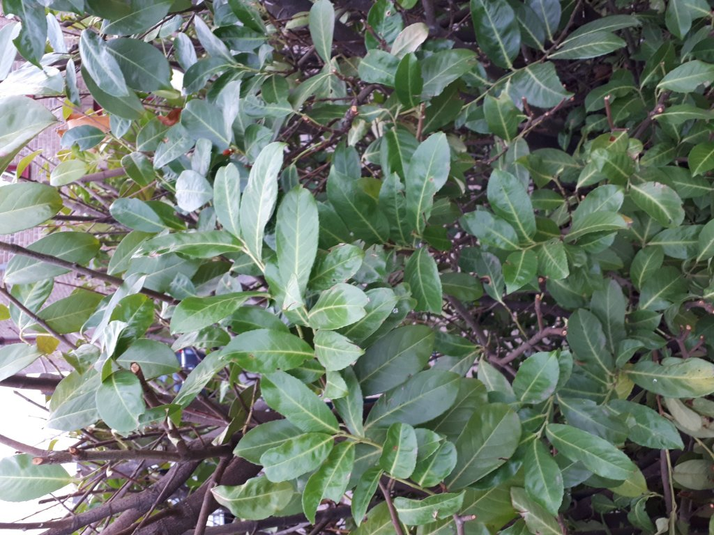 l ffel ilex einzelst ck ilex crenata rotundifolia bonsai. Black Bedroom Furniture Sets. Home Design Ideas