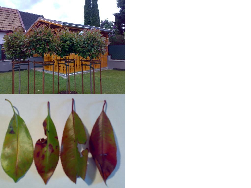 glanzmispel photinia fraseri red robin g nstig aus der baumschule online kaufen. Black Bedroom Furniture Sets. Home Design Ideas