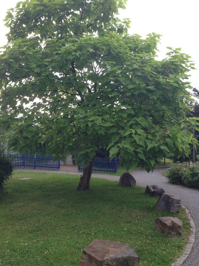 kugel trompetenbaum catalpa bignonioides nana g nstig online kaufen. Black Bedroom Furniture Sets. Home Design Ideas