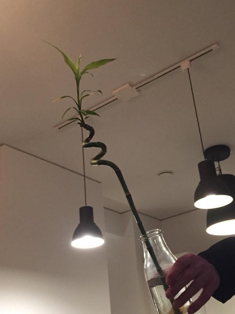 drachenbaum marginata dracaena marginata bicolor g nstig. Black Bedroom Furniture Sets. Home Design Ideas