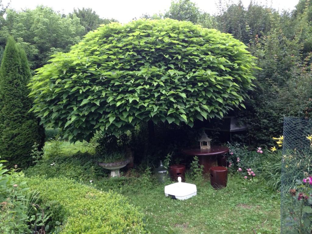 trompetenbaum nana italia catalpa bignonioides nana. Black Bedroom Furniture Sets. Home Design Ideas