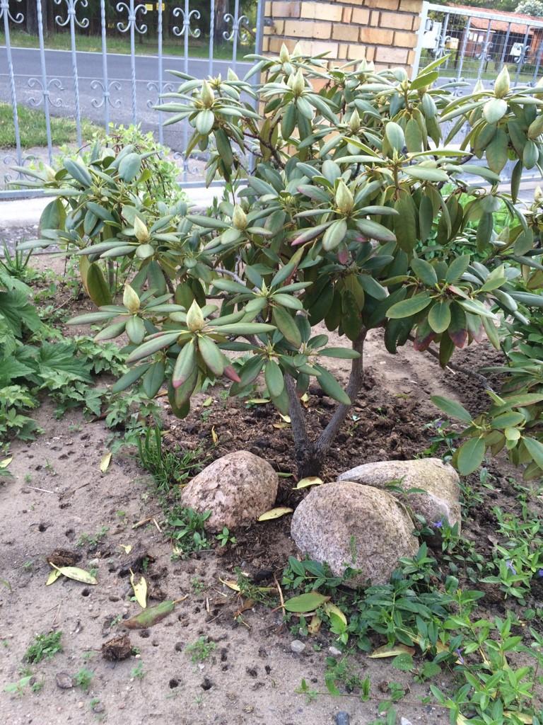 japanische azalee kermesina rhododendron obtusum kermesina g nstig aus der baumschule online. Black Bedroom Furniture Sets. Home Design Ideas