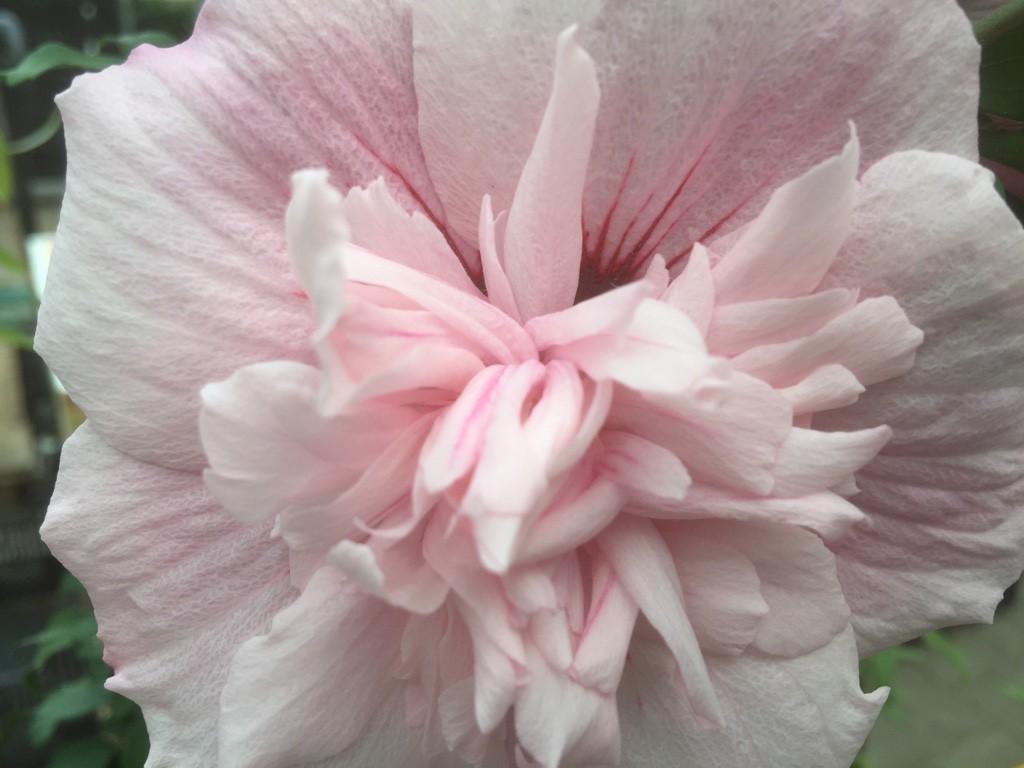 garteneibisch pink chiffon hibiscus pink chiffon g nstig. Black Bedroom Furniture Sets. Home Design Ideas