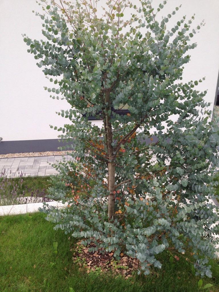 gew hnlicher eukalyptus italia eucalyptus globulus. Black Bedroom Furniture Sets. Home Design Ideas