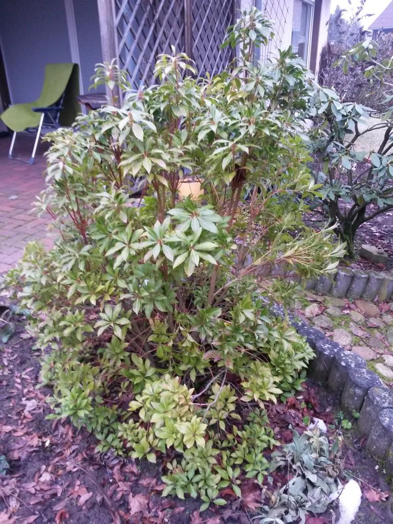 rhododendron brasilia rhododendron hybride brasilia g nstig online kaufen. Black Bedroom Furniture Sets. Home Design Ideas