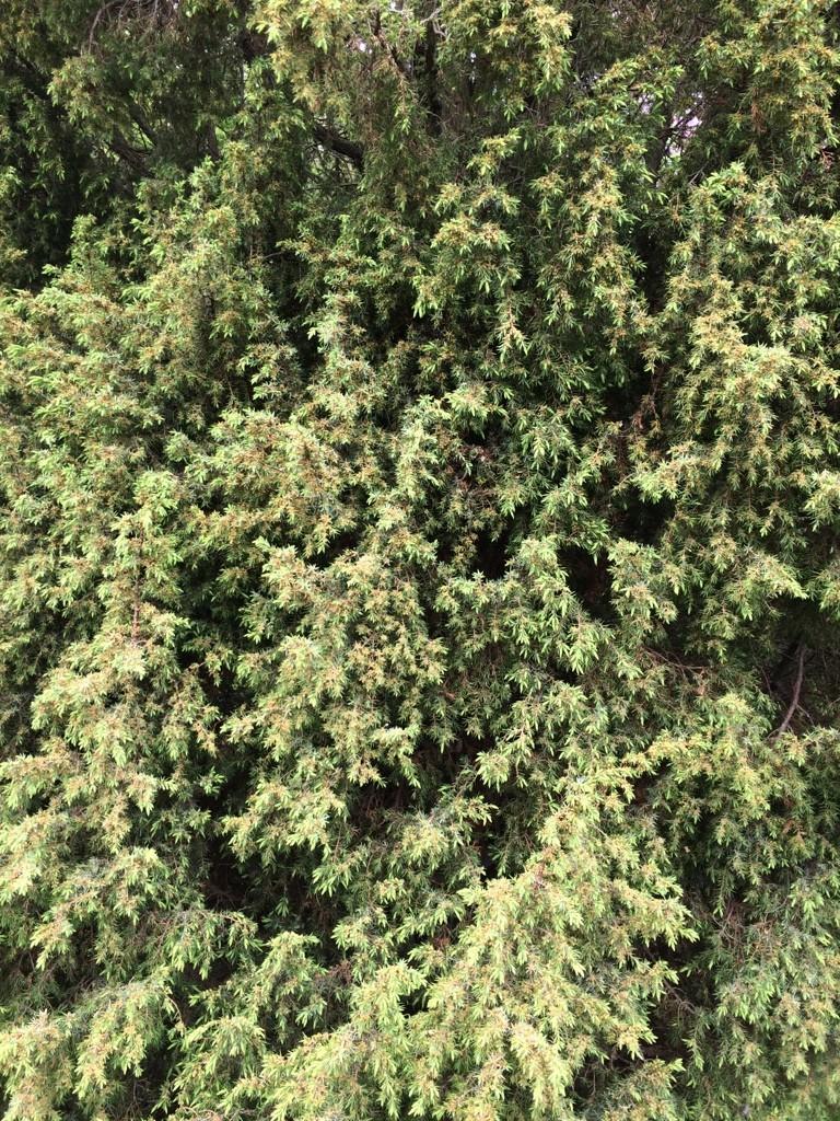 garten chinaschilf gracilimus miscanthus sinensis gracillimus g nstig online kaufen. Black Bedroom Furniture Sets. Home Design Ideas