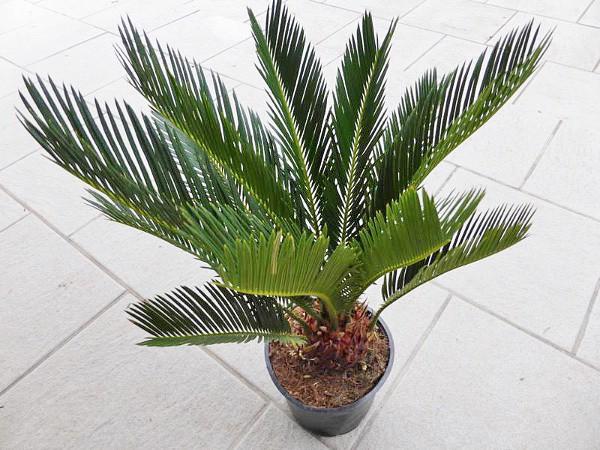 palmlilie yucca palme yucca filamentosa g nstig aus der. Black Bedroom Furniture Sets. Home Design Ideas