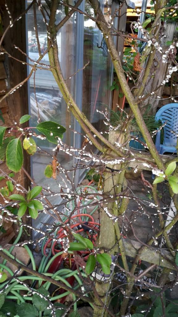 wei e forsythie abeliophyllum distichum g nstig online. Black Bedroom Furniture Sets. Home Design Ideas