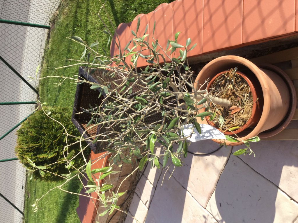 olivenbaum olea europaea g nstig online kaufen. Black Bedroom Furniture Sets. Home Design Ideas