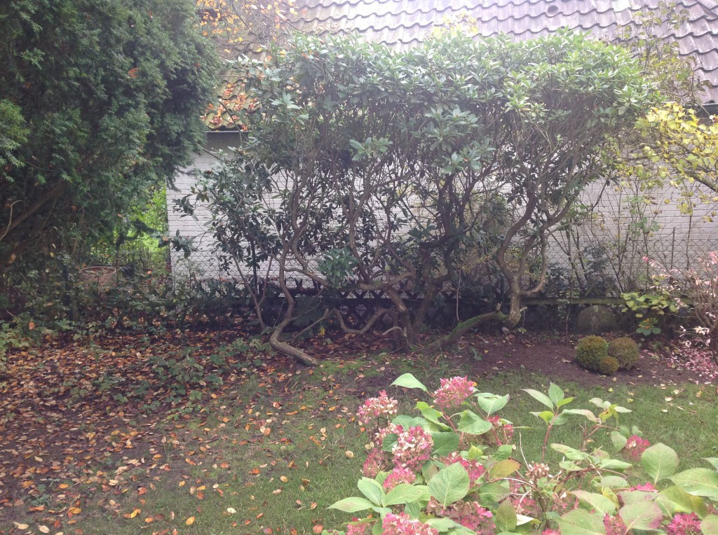 sternmagnolie royal star magnolia stellata royal star g nstig online kaufen. Black Bedroom Furniture Sets. Home Design Ideas