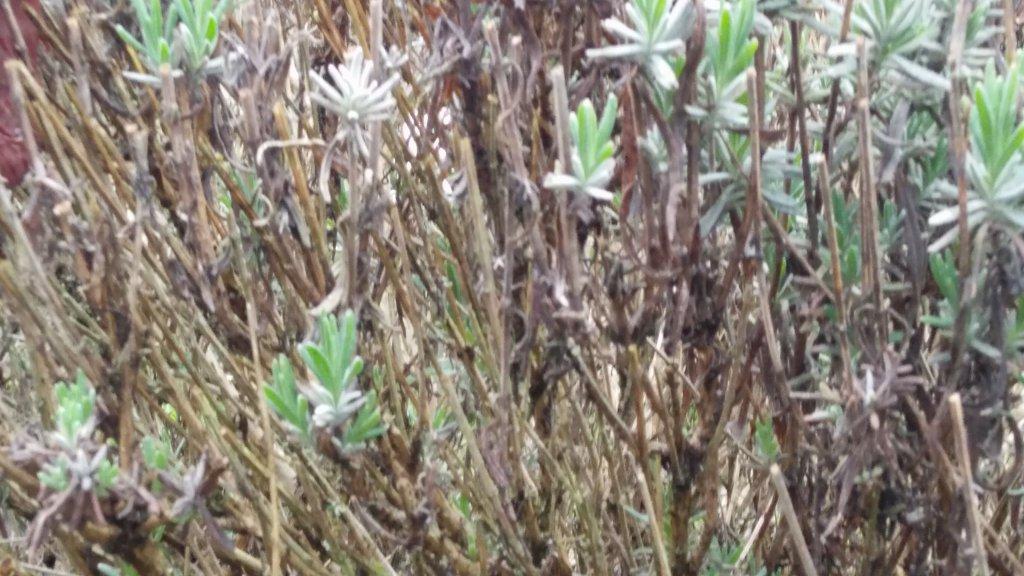 echter lavendel lavandula angustifolia g nstig online kaufen. Black Bedroom Furniture Sets. Home Design Ideas