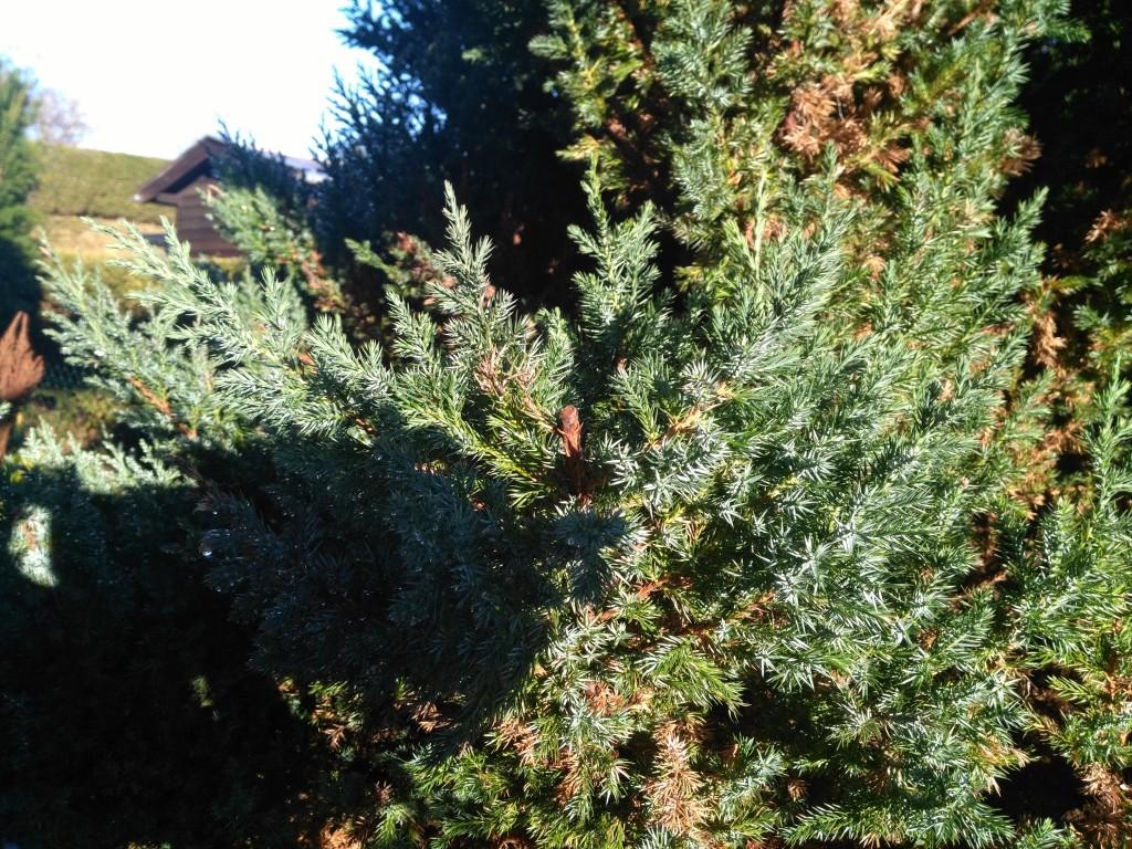 schwedischer s ulen wacholder juniperus communis suecica g nstig online kaufen. Black Bedroom Furniture Sets. Home Design Ideas