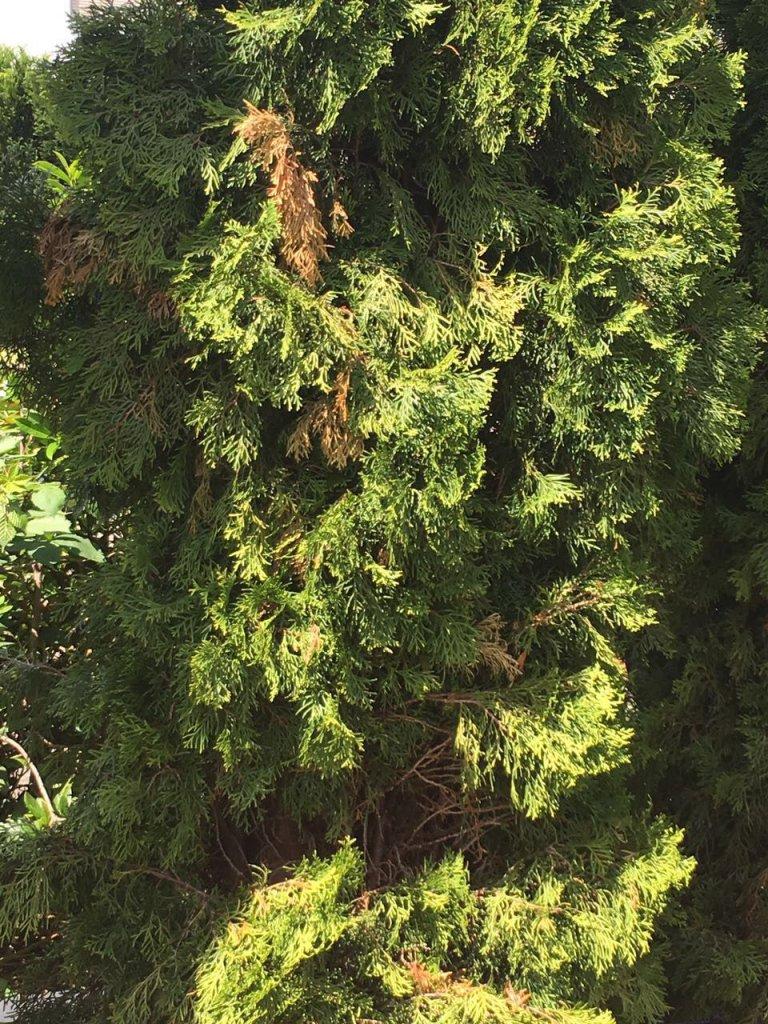 lebensbaum golden smaragd thuja occidentalis golden. Black Bedroom Furniture Sets. Home Design Ideas