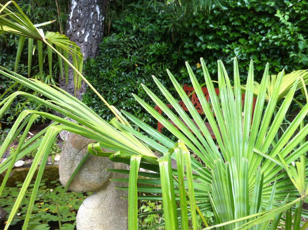 hanfpalme trachycarpus fortunei g nstig aus der baumschule online kaufen. Black Bedroom Furniture Sets. Home Design Ideas