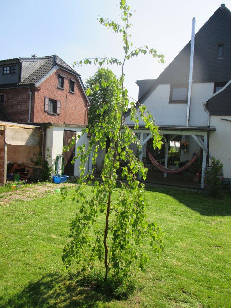 birke corylifolia betula corylifolia g nstig online kaufen. Black Bedroom Furniture Sets. Home Design Ideas