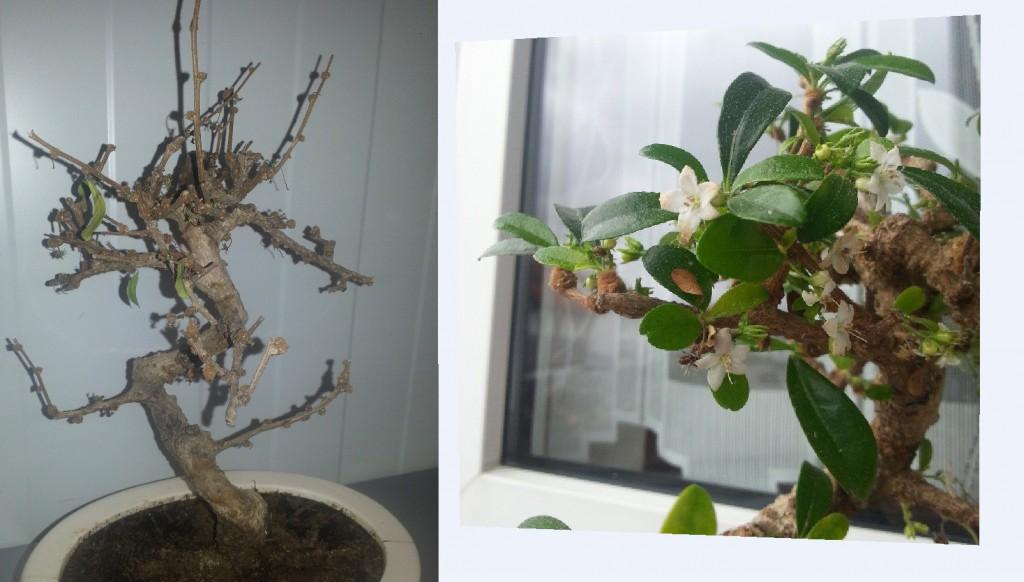 fragen an den meister bonsai von gestern. Black Bedroom Furniture Sets. Home Design Ideas