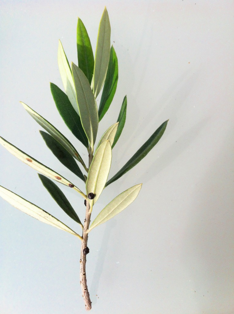 olivenbaum italia olea europaea g nstig aus der. Black Bedroom Furniture Sets. Home Design Ideas