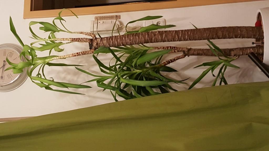 palmlilie yucca palme yucca filamentosa g nstig online. Black Bedroom Furniture Sets. Home Design Ideas