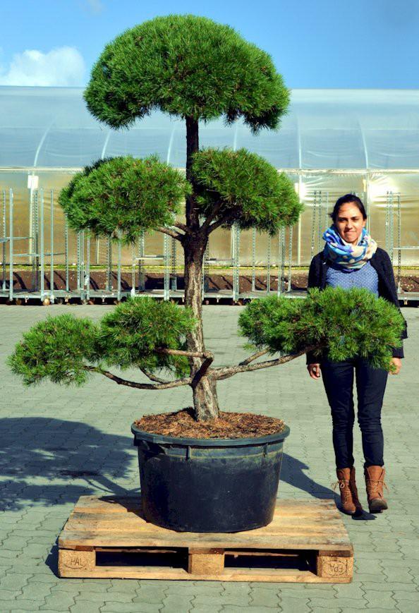 kiefer bonsai pon pon formgeh lz pinus sylvestris pon. Black Bedroom Furniture Sets. Home Design Ideas