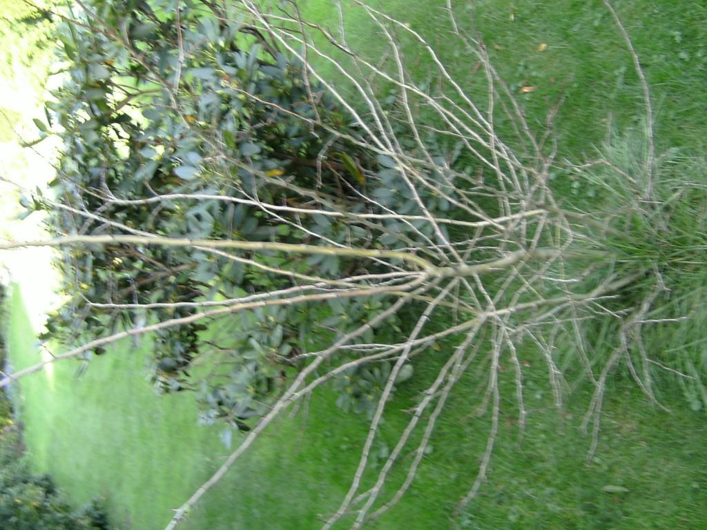 echter schneeball roseum viburnum opulus roseum g nstig. Black Bedroom Furniture Sets. Home Design Ideas