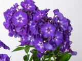 product_image Edelphlox Adessa Special Purple Star