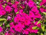 product_image Phlox Adessa Special Fire