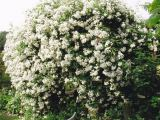 product_image Kletterrose Rambling Rector