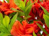 product_image Rhododendron Azalee Gibraltar