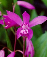 China-Freiland-Orchidee