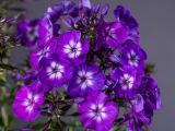 product_image Gedrungene Flammenblume Purple Flame